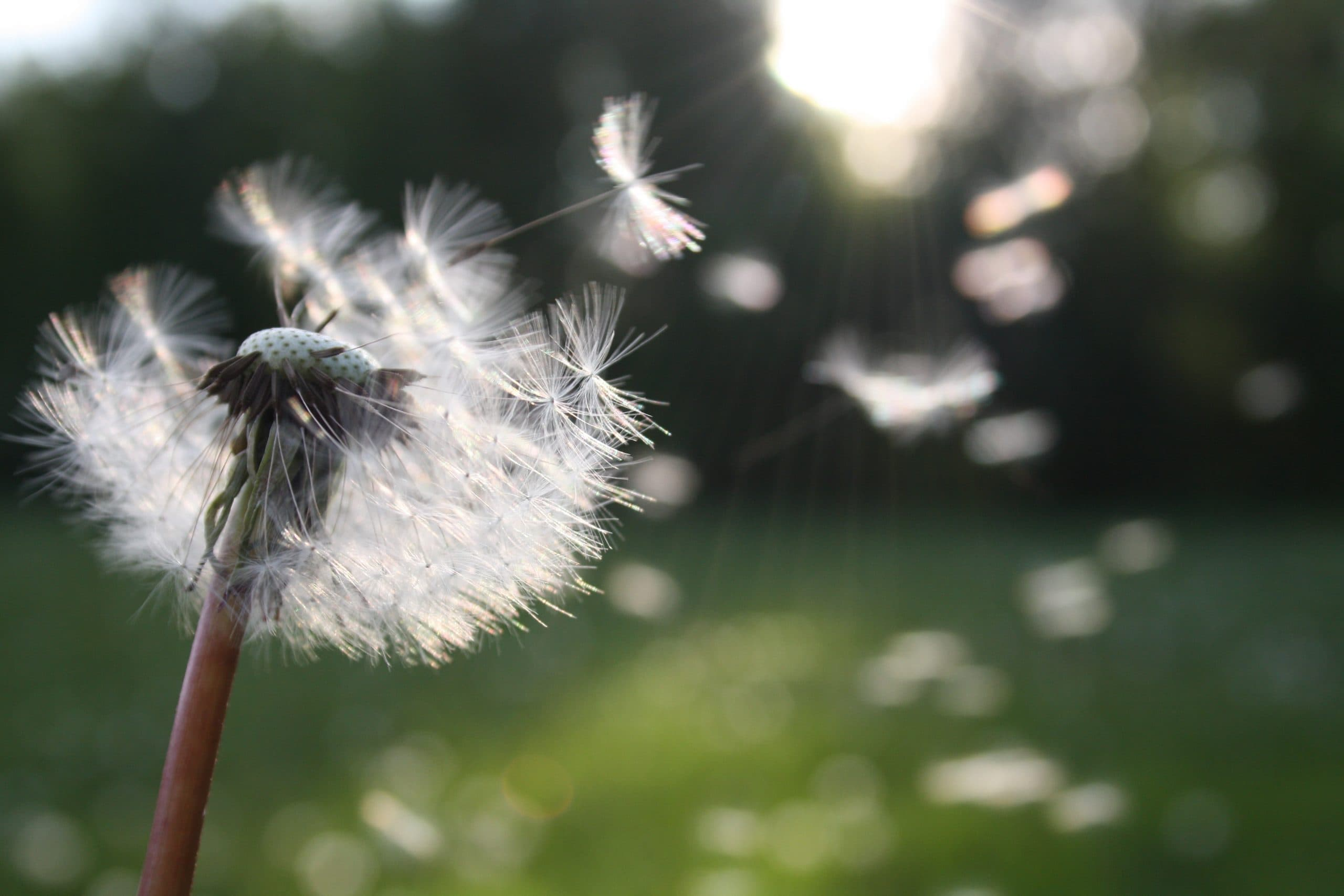 Dandelion clock blowing away in the wind